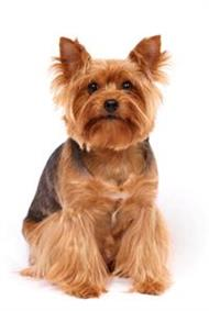 Pedigree® Yorkshire Terrier dog picture