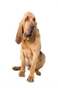 Pedigree® Bloodhond dog picture