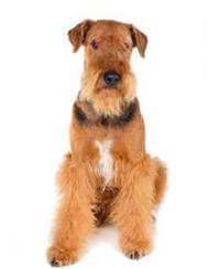 Pedigree® Airedale Terrier dog picture