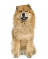 Pedigree® Chow Chow dog picture