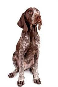 Pedigree® German Short-Haired Pointer dog picture