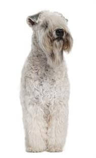 Pedigree® Soft Coated Wheaten Terrier dog picture