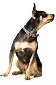 Pedigree® English Toy Terrier dog picture