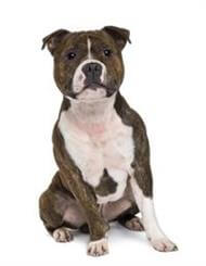 Pedigree® Staffordshire Bull Terrier dog picture