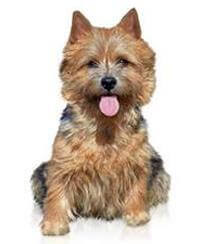 Pedigree® Norwich Terrier dog picture