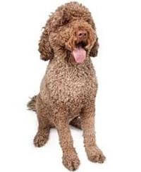 Pedigree® Portuese water dog picture